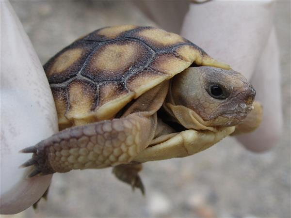 Autodesk помогает создать 3D-копии панциря для спасения вида пустынной черепахи