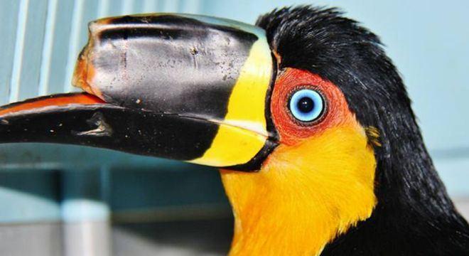 Бразильский тукан получает новый клюв, созданный с помощью 3D-принтера