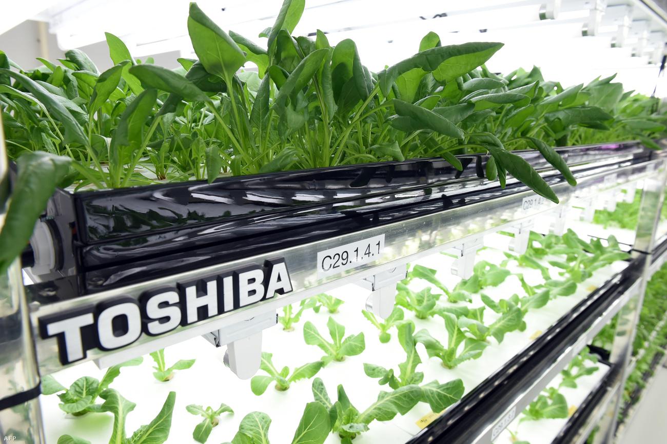 На городской ферме Toshiba идеально чисто — как в лаборатории
