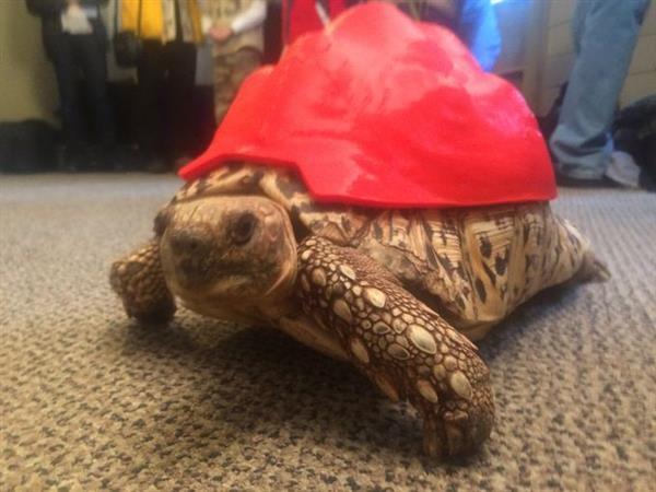 Спасенной черепахе подарили шанс на новую жизнь благодаря 3D-печатному панцирю
