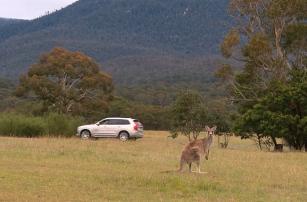 Volvo тестирует систему безопасности, чтобы избегать столкновений с кенгуру