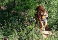 Tigre De Cristal начнет работать уже 8 октября