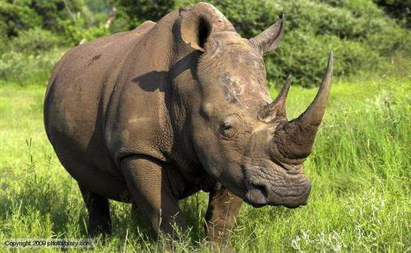 Стартап Pembient использует 3D-биопечать, чтобы делать рога носорога, не убивая животных